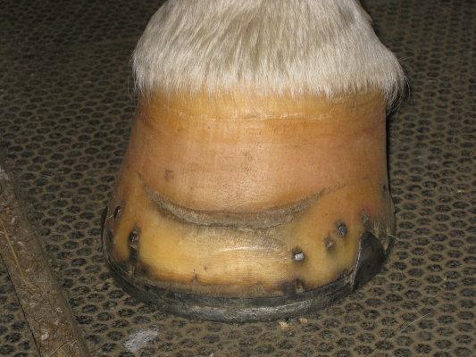 horizontal crack horse hoof