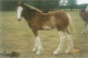 Clydesdale filly - rt hock (inner)