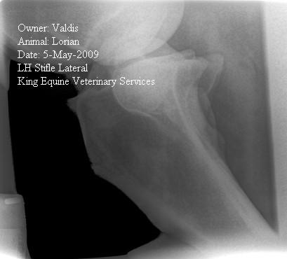 Horse Stifle Radiograph