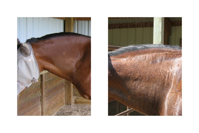 HorseAdvicecom Equine Horse Advice EMS And The Cersty Neck - Before and after achorse stable