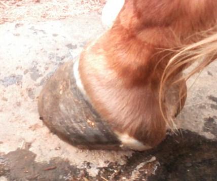 horse hoof 3rd pic